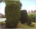 Conifer trees shaping - after