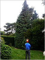 Conifer reduction - Before