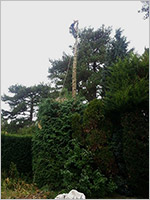 Conifer reduction - During